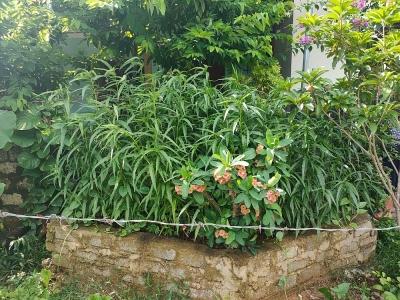 Thanh Hóa: Phát hiện một hộ dân trồng 117 cây cần sa trong vườn nhà