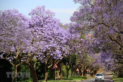 Pretoria - thành phố hoa phượng tím của Nam Phi