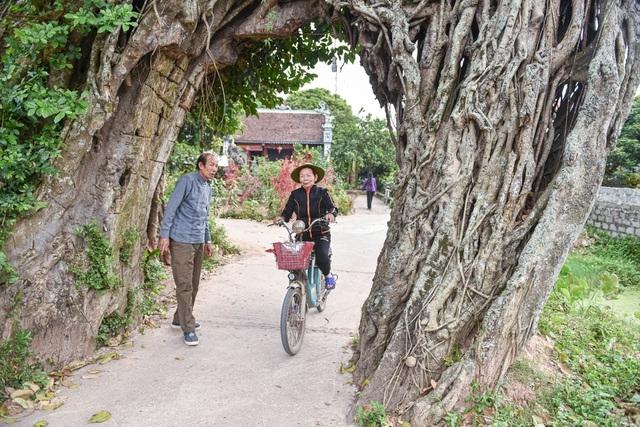 Cây đa 500 tuổi có bộ rễ khủng tạo thành cổng làng